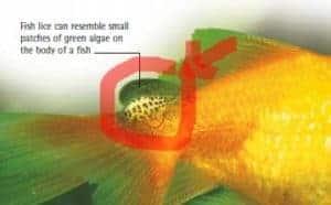 fice lice koi fish diseases identify treat (koi fish disease)