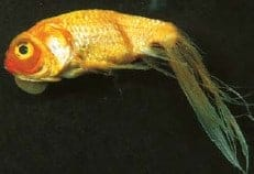 How to identify and treat koi fish diseases that you for Koi fish parasites