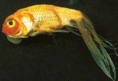 fin rot koi fish diseases identify treat (koi fish disease)