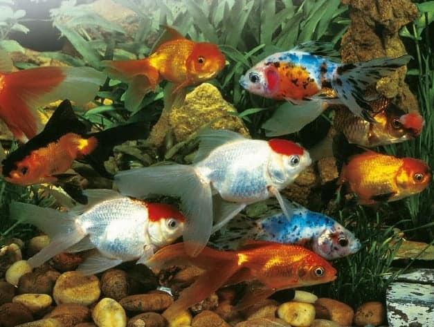 Goldfish swim school koi fish and diy koi pond for Koi pond you can swim in