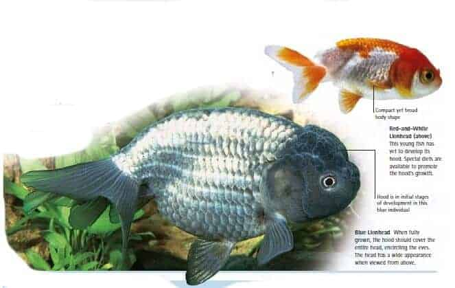 Goldfish swim school koi fish and diy koi pond for What fish can live with goldfish in a pond