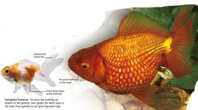types of goldfish pearlscale goldfish