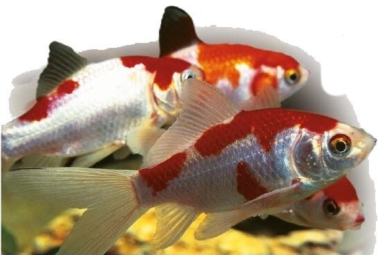 red and white common goldfish