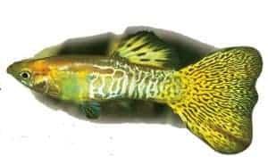 guppy fish golden snakeskin delta guppy