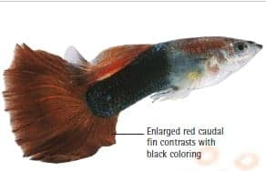 types of guppies red tail half black guppy