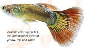 types of guppies red varitail guppy